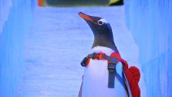 VIDEO. Zes schattige pinguïns stelen de show op Chinees ijsfestival