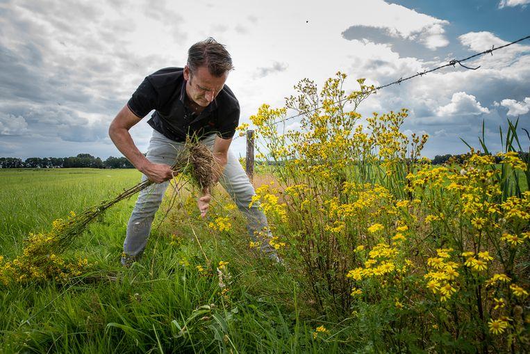 Veehouder Dirk Bruins trekt jacobskruiskruid uit zijn weiland. Zijn koeien kunnen er ziek van worden.  Beeld Harry Cock / de Volkskrant