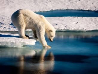 Grootste slachtoffer van hittegolf op Noordpool: de ijsbeer