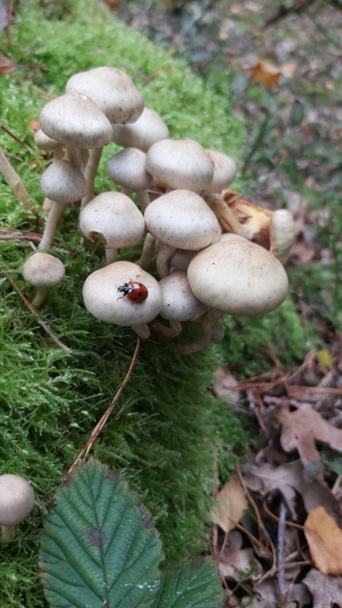 Een lieveheersbeestje op paddenstoelen in het Bergherbos.
