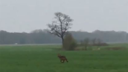 """""""Voor het eerst sinds 1712"""" wolf gespot in Friesland"""