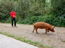 Varken ontsnapt telkens vanwege lekkere eikels: 'Vandaag al drie keer weggelopen'