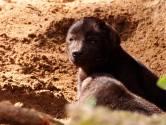 Hyenapuppies zetten eerste stapjes in Beekse Bergen