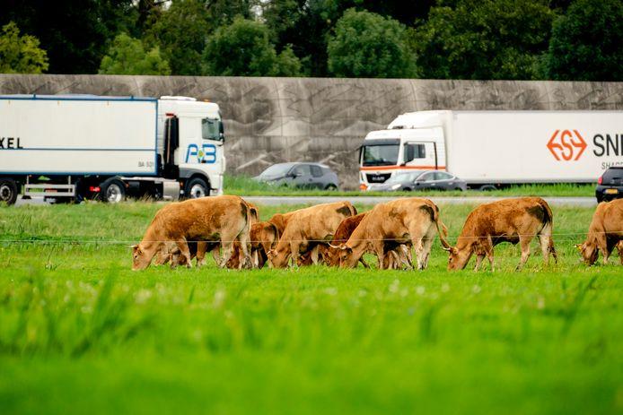 Grazende koeien langs de snelweg A2.
