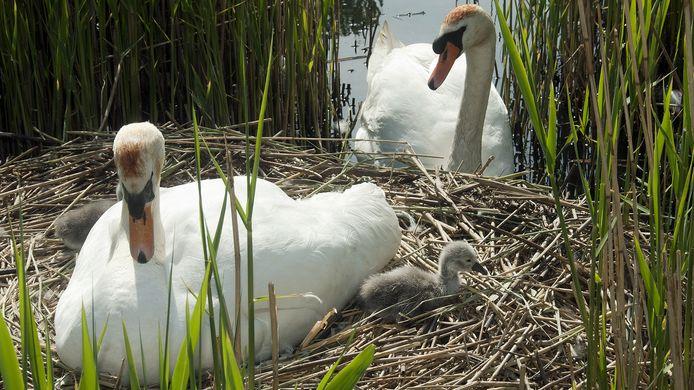 De zwanen die in de Waterknoop in Bergen op Zoom leven hebben gezinsuitbreiding gekregen.