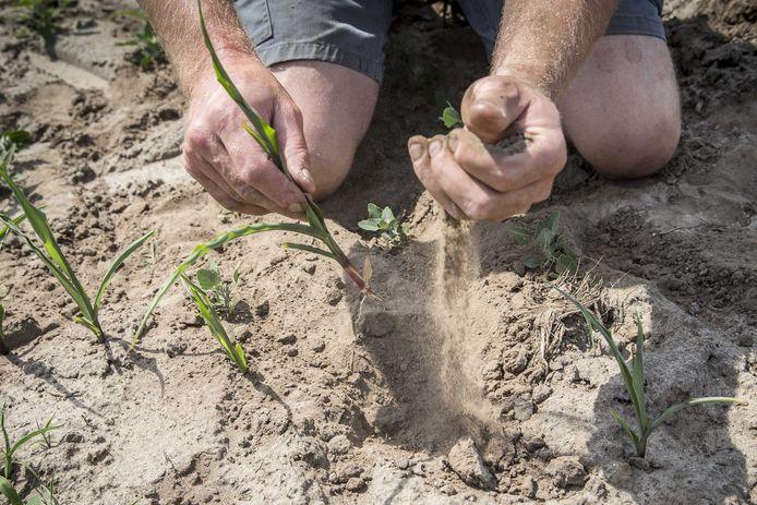 Akkerbouwer Martijn Vorkink bekijkt de jonge maisplantjes in de droge grond op zijn maisveld.