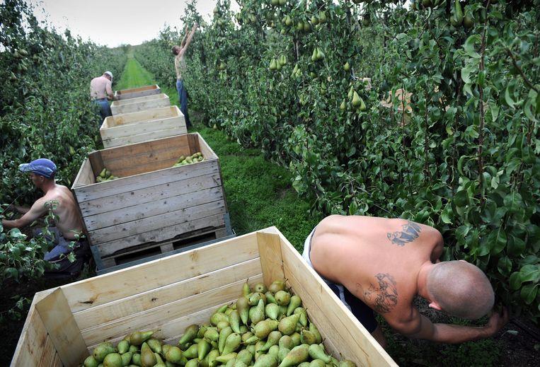 Dreumel, Polen aan het werk bij een fruitbedrijf. Beeld Marcel van den Bergh