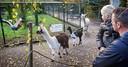 De Alpaca's bij Zie-ZOO in Volkel.