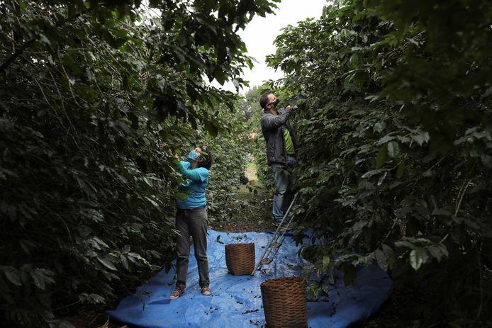 Vrijwilligers aan het werk op een koffieplantage in Sao Paulo.