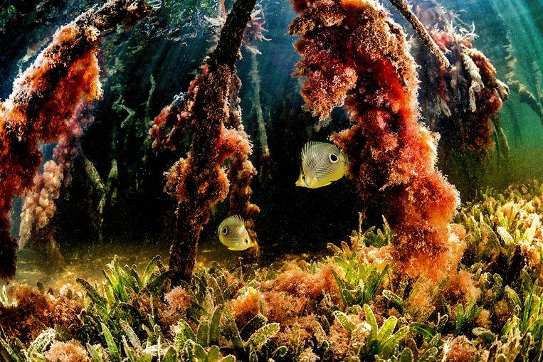 Koraalvlinders zoeken naar voedsel in het rif. De mangrove werkt als een soort crèche voor veel koraalvissen: hij geeft bescherming en levert voedsel aan jonge exemplaren.   Beeld Lorenzo Mittiga/INSTITUTE