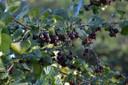 Zwarte bessen hebben veel zon, voeding en vocht nodig.