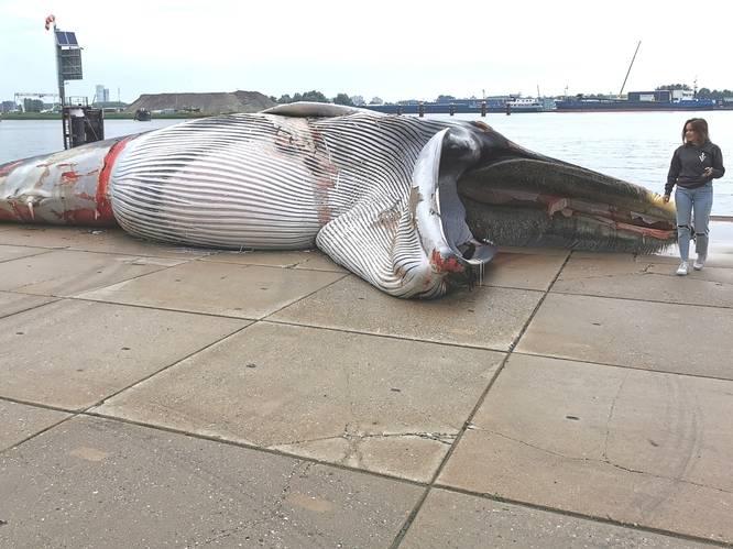 Dode walvis uit sluis Terneuzen gehaald