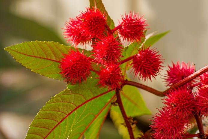 Ricine wordt gemaakt uit de bonen van de castorplant, ook wel wonderboom genaamd