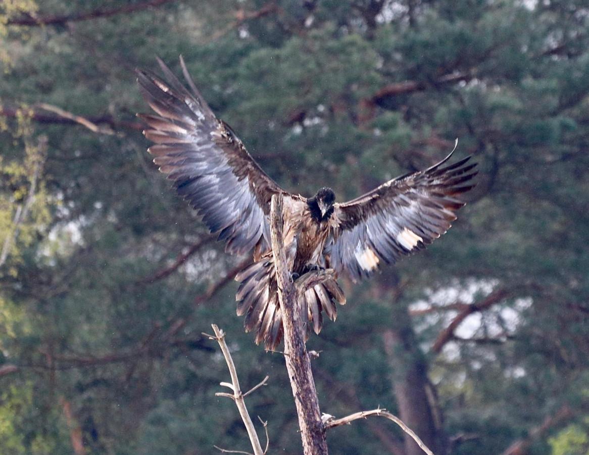 Lammergier Eglazine met gebleekte vleugelvlekken op de Archemerberg