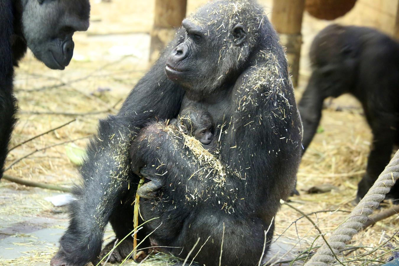 Sindy na de geboorte van haar vijfde jong.