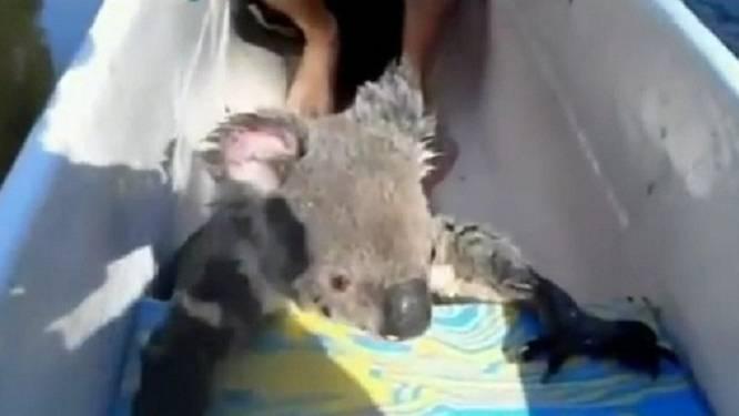 Koala zwemt naar kano en klimt aan boord in Australië