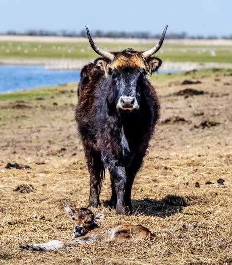 Staatsbosbeheer gaat nu ook runderen afschieten in Oostvaardersplassen
