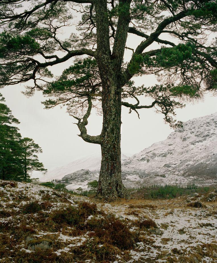 Eenzame granny pine in Schotland. Beeld Jeroen Toirkens