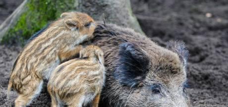 Jagers mogen ook ná avondklok zwijnen schieten, dierenclubs woest: 'Krankzinnig!'