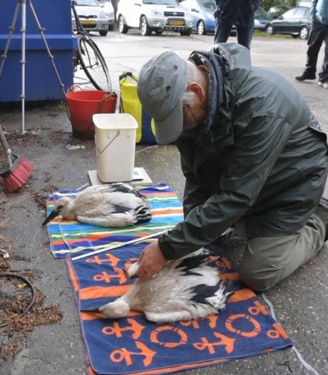 In het Utrechtse Westbroek worden jonge ooievaarskuikens van een ringetje voorzien
