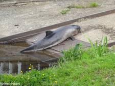 Vreemde blikken in de haven van Elburg: hoe kan hier nou een dode bruinvis aanspoelen?