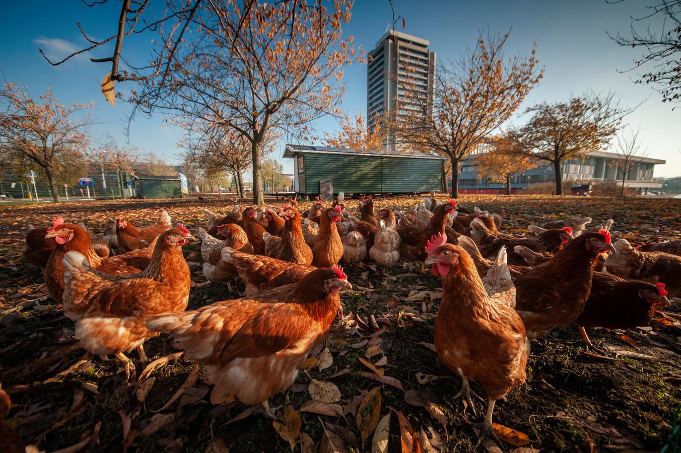 Kippen kiezen eieren voor hun geld: ze worden geen dierlijk schild voor protesterende boeren en hun tractoren.