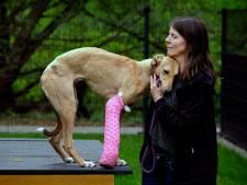 Dierentehuis zoekt baasje van ernstig gewonde hond: 'We zien veel ellende, maar dit is wel heel schrijnend'