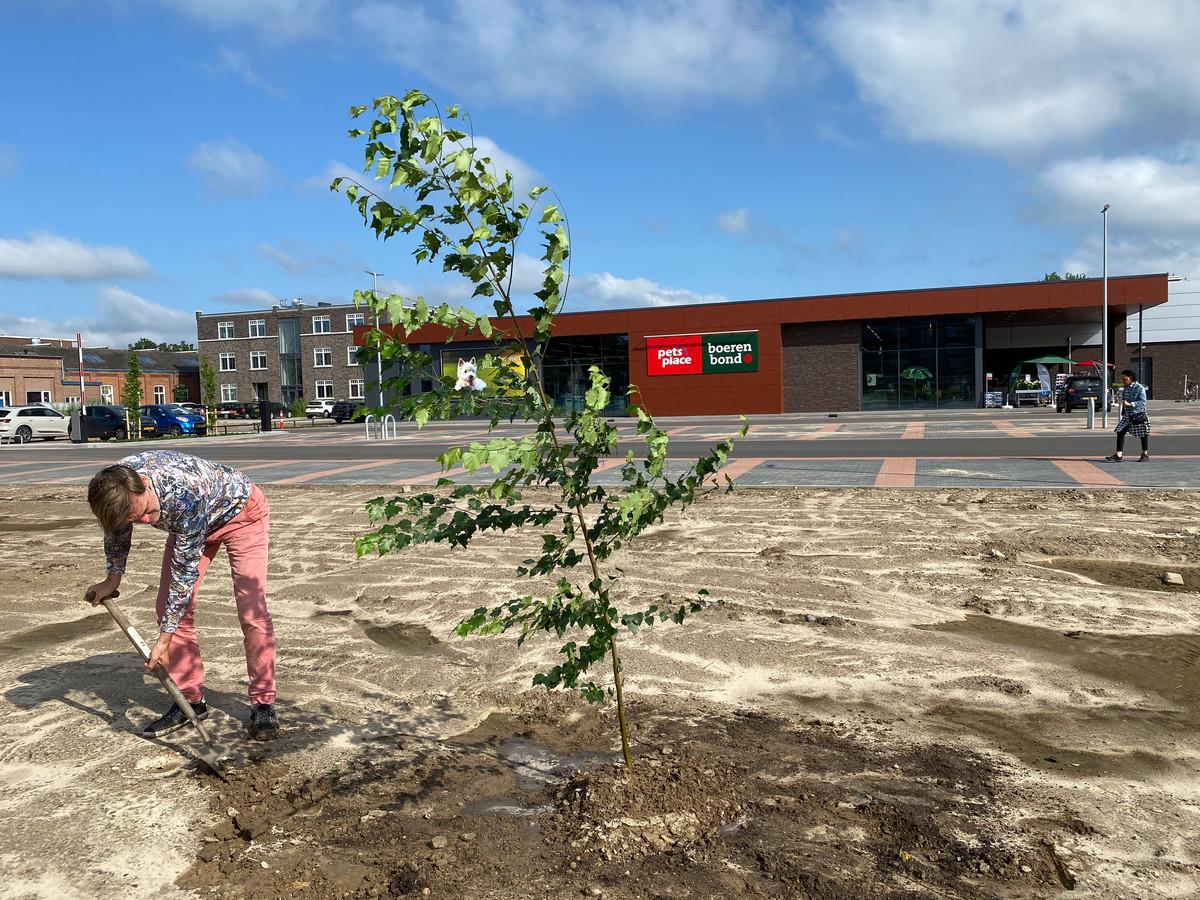 Star Sock-ondernemer Eric Roosen plant een berk op de 'kale' parkeerplaats voor de nieuwe Lidl en Boerenbond naast het KVL-terrein in Oisterwijk.