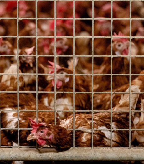 Landelijke ophokplicht voor pluimvee vanwege vogelgriep
