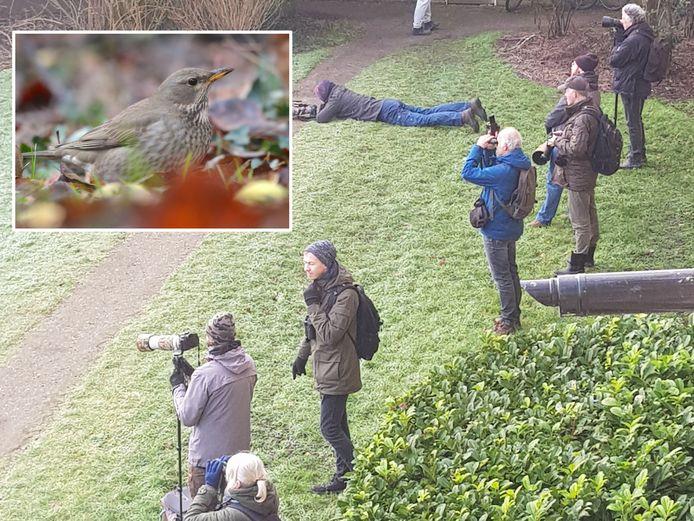 Vogelaars komen naar de Utrechtse wijk Hoograven om de Zwartkeellijster te spotten.