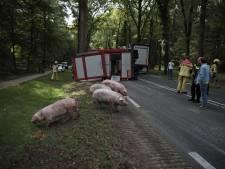 Vrachtwagen kantelt in Ommen, varkens aan de wandel