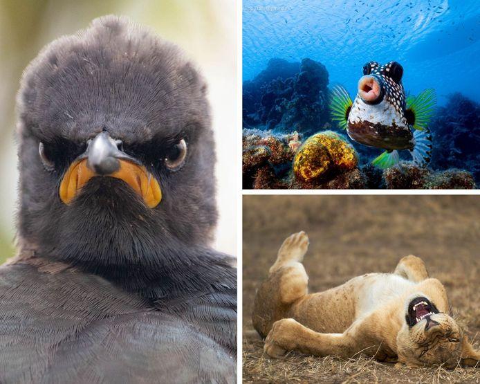 Le Comedy Wildlife Photography Awards dévoile ses premiers clichés de 2021.