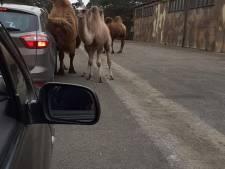 Te druk: Duitse politie sluit Auto Safari van Circus Renz in Itterbeck