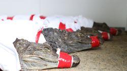 Natuurhulpcentrum worstelt met 6 brilkaaimannen in garage in Houthalen