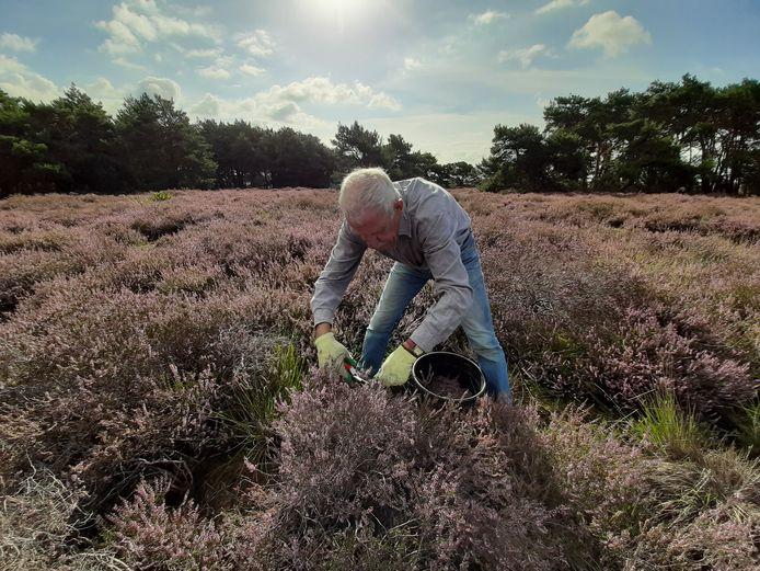 Sjef Smulders, vrijwilliger bij Brabants Landschap, knipt heidetoppen die gebruikt worden om Bolderbier van te maken.