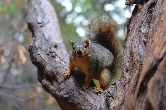 Amerikaanse eekhoorn