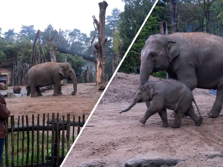 Zo rouwen olifanten als ze een familielid verliezen