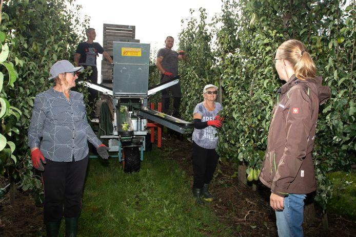 Archieffoto: Poolse seizoenskrachten plukken fruit in een boomgaard in Kapelle.