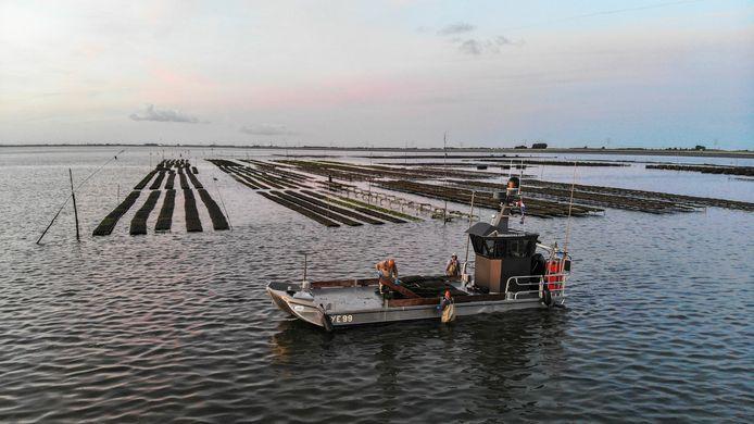 Off bottom-gekweekte oesters krijgen vanaf dit jaar het MSC-certificaat.