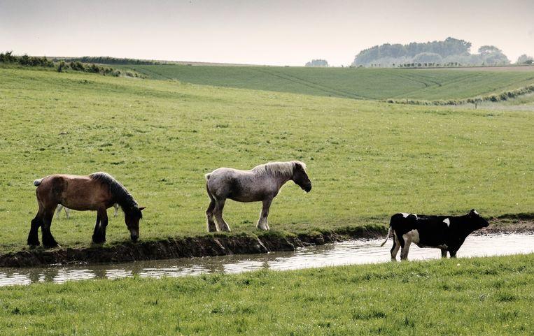 In een enorme weide in Neerijse worden de paarden van Alain Moreels omringd door koeien. 'Paarden en koeien kunnen goed samen staan.' Beeld tim dirven
