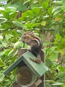 De bijzondere eekhoorn in de Osse tuin.