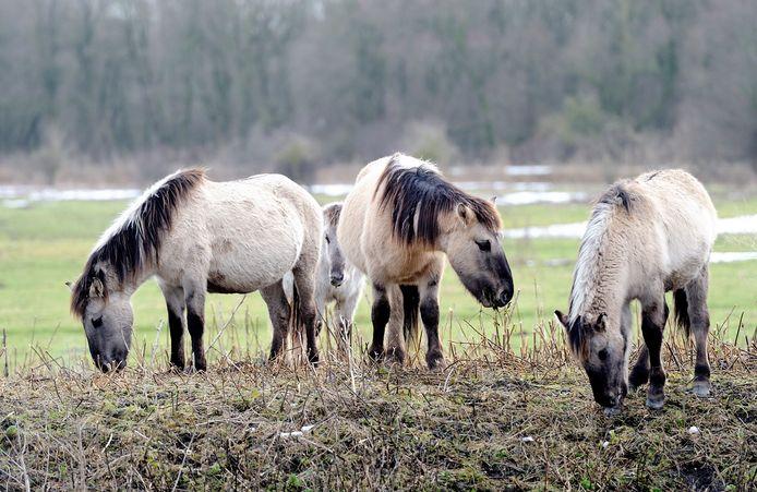 Konikpaarden en heckrunderen in de Oostvaardersplassen worden vanwege het strenge winterweer bijgevoerd door Staatsbosbeheer.