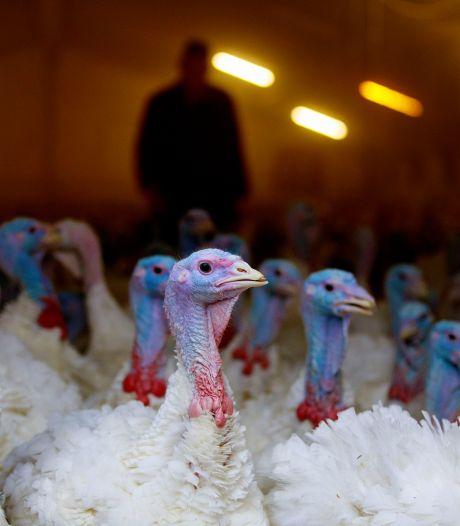 Kalkoenhouder wil in Oisterwijk vleeskuikens achter de hand houden