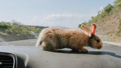 Zijn konijnen de sleutel tot het oplossen van het mysterie rond het vrouwelijke orgasme?