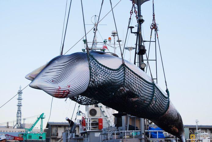Archiefbeeld ter illustratie: Een blauwe vinvis wordt aan boord van een schip gehesen