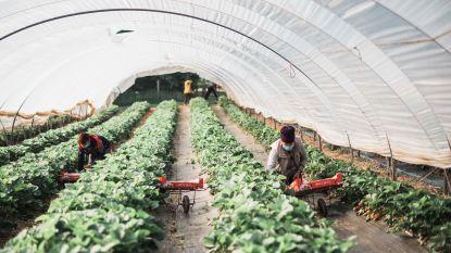 """Oost-Europese seizoensarbeiders opnieuw aan de slag in Haspengouw: """"Ze zijn getest in hun land van herkomst en hier houden we ze in een bubbel"""""""