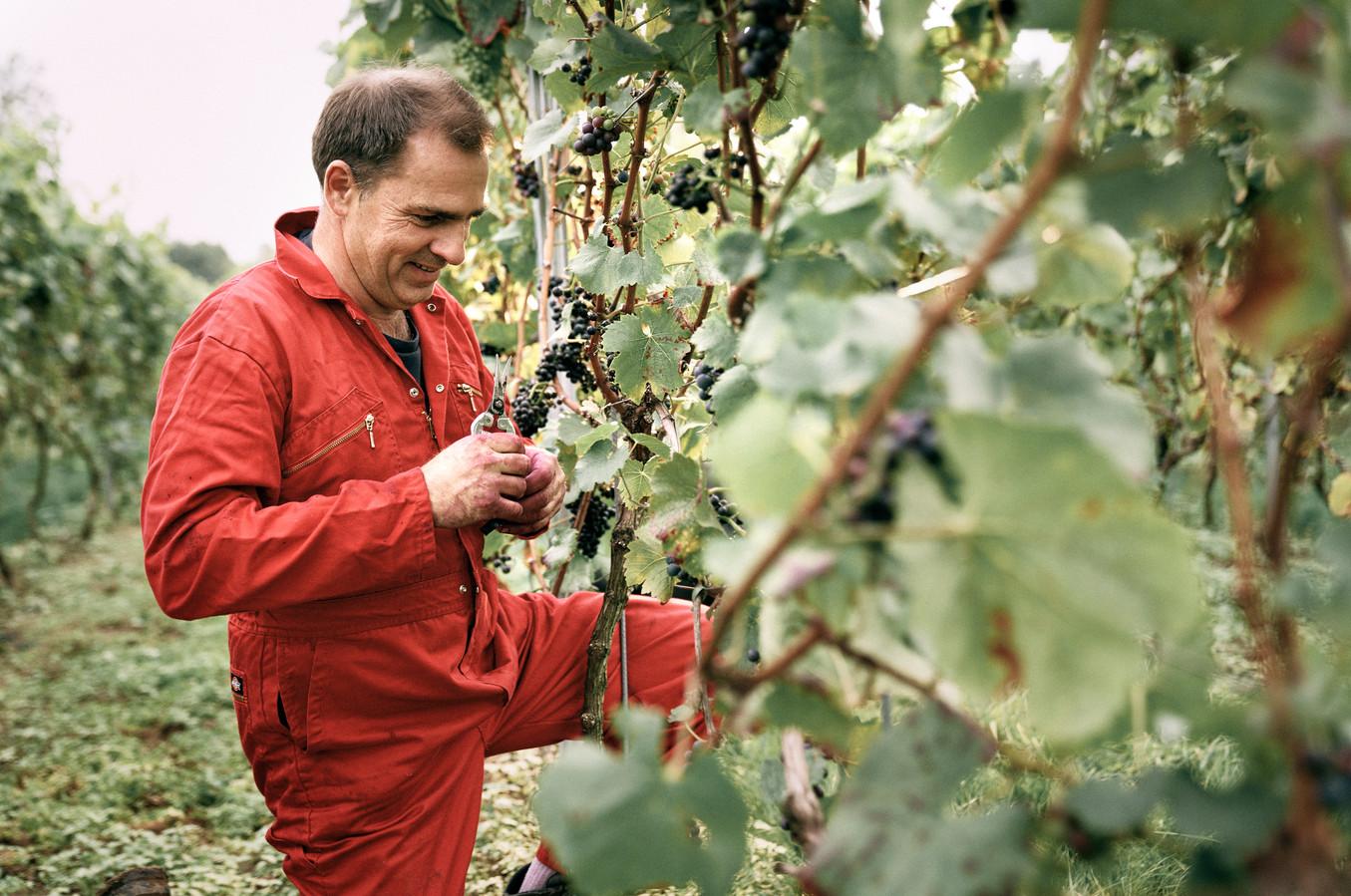 Luc Haekens in zijn eigen wijndomein Coberger in Scherpenheuvel.