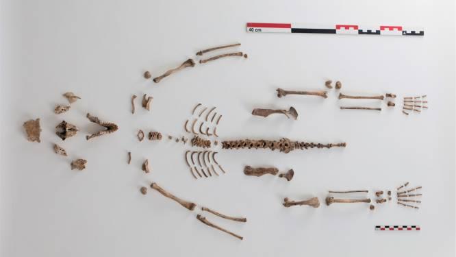 300 jaar geleden leefden apen in Vlaanderen. Of toch één ongelukkig aapje