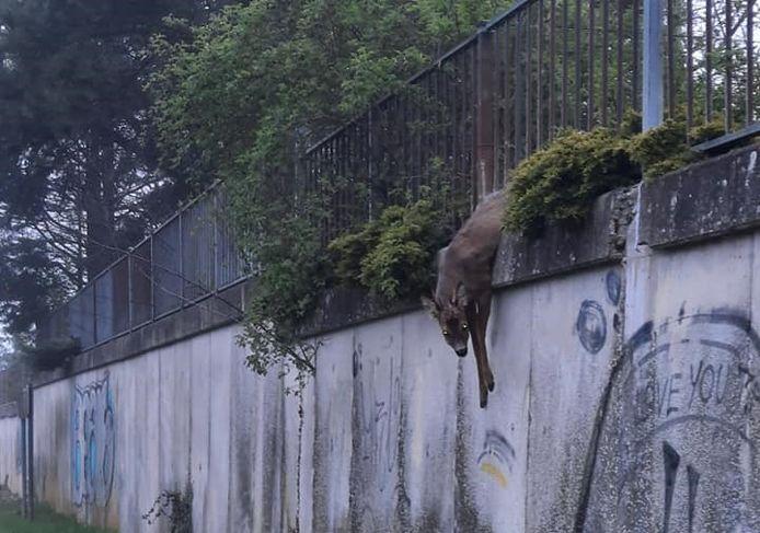 Het dier bengelde maar liefst drie meter boven de grond totdat er hulp kwam.