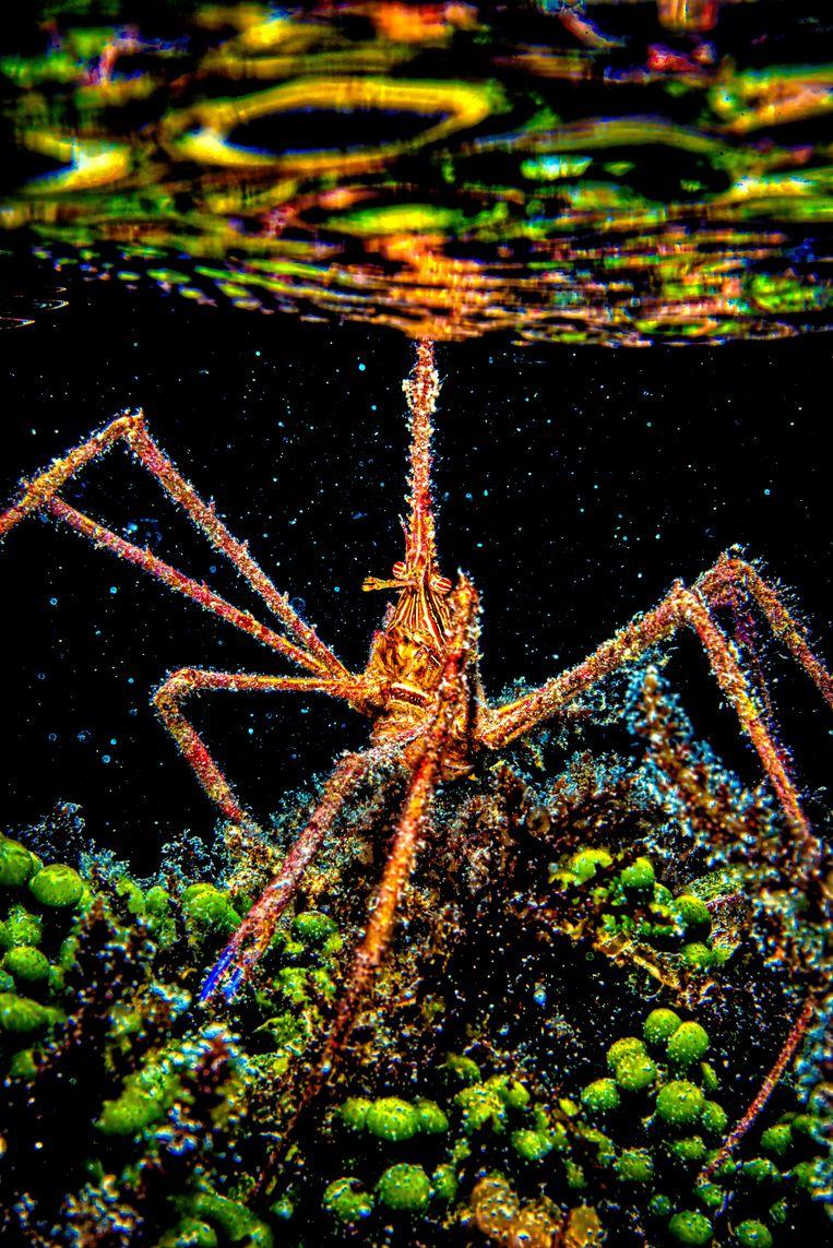 Een spinkrab voelt met een van zijn poten aan het wateroppervlak welk weer het daarboven is.  Beeld Lorenzo Mittiga/INSTITUTE